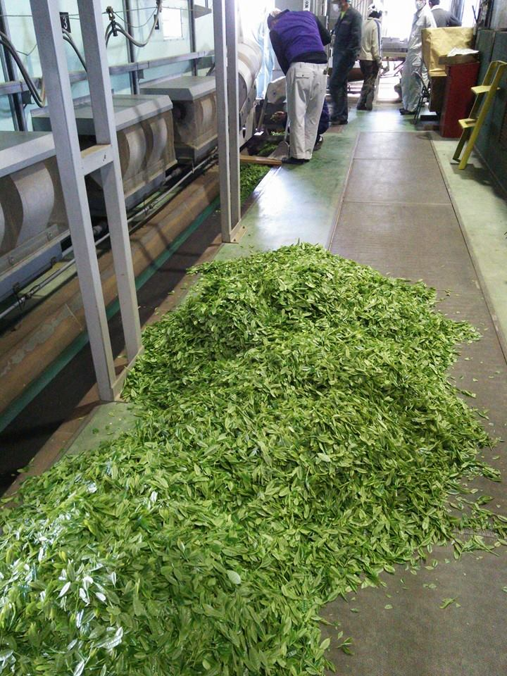 茶創り人沼津一番茶製造研修3