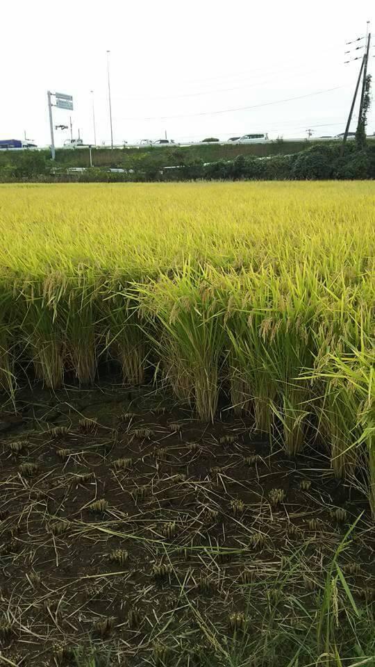 2017新米 稲刈り2
